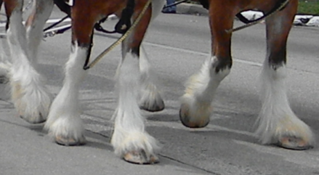 clydesdale-feet